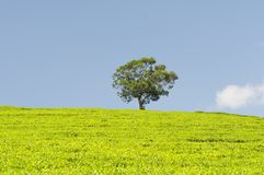 Plantação de chá e uma árvore Imagem de Stock Royalty Free