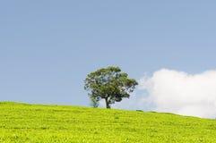 Plantação de chá e uma árvore Fotos de Stock Royalty Free