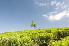 Plantação de chá e uma árvore Fotografia de Stock Royalty Free