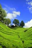Plantação de chá em Cameron elevado Fotografia de Stock Royalty Free