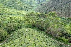 Plantação de chá em Cameron Highlands Fotos de Stock Royalty Free