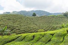 Plantação de chá em Cameron Highlands Imagem de Stock