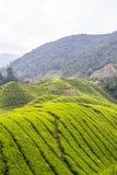 Plantação de chá em Cameron Highlands Foto de Stock Royalty Free