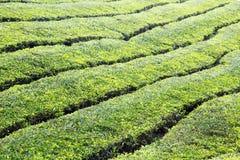 Plantação de chá em Cameron Highlands Imagens de Stock Royalty Free