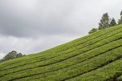 Plantação de chá em Cameron Highlands Foto de Stock