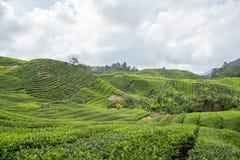 Plantação de chá em Cameron Highlands Imagens de Stock