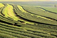 Plantação de chá em Chiang Rai, estação do inverno em Tailândia Fotografia de Stock