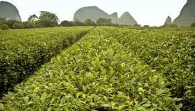 Plantação de chá em Guilin Fotos de Stock Royalty Free