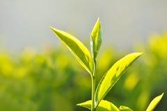 Plantação de chá em India imagem de stock