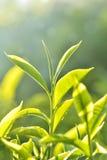 Plantação de chá em India foto de stock