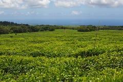 Plantação de chá em Maurícias imagem de stock