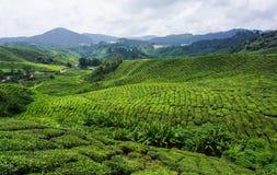 Plantação de chá em montanhas de Cameron, Malaysia Fotografia de Stock Royalty Free