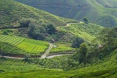 Plantação de chá em montanhas de Cameron, Malaysia Foto de Stock