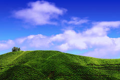 Plantação de chá em montanhas de Cameron fotografia de stock royalty free