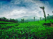 Plantação de chá em Nelliyampathi Imagens de Stock Royalty Free