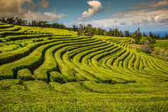 Plantação de chá em Porto Formoso Paisagem surpreendente do outstandin imagem de stock royalty free