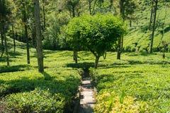Plantação de chá em Sri Lanka Chá que cresce em uma escala industrial imagem de stock royalty free
