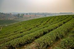 Plantação de chá em Tailândia do norte imagens de stock royalty free
