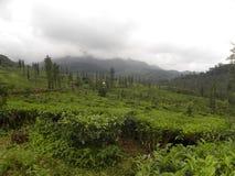 Plantação de chá em Wayanad com montanhas e nuvens no fundo Imagens de Stock