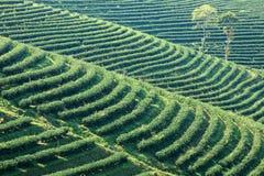 Plantação de chá fresca em terraced, Chiang Mai, Tailândia Fotos de Stock