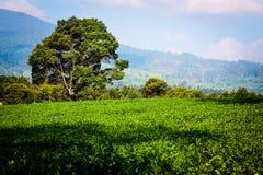 Plantação de chá Kertasari em Bandung pangalengan fotos de stock