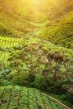 Plantação de chá Lanscape natural Imagem de Stock