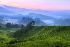 Plantação de chá malaysia Fotografia de Stock Royalty Free