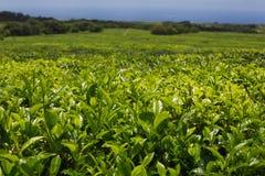Plantação de chá, Maurícias imagens de stock