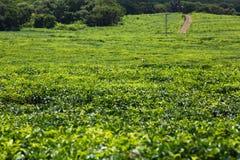 Plantação de chá, Maurícias fotos de stock