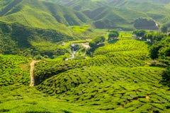 Plantação de chá na montanha - Cameron Highlands Fotografia de Stock