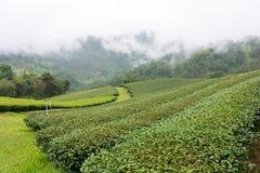 Plantação de chá nas montanhas imagens de stock