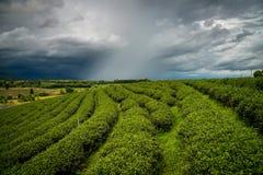 Plantação de chá no campo de Chiangrai a província do norte de Tailândia fotografia de stock royalty free