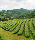 Plantação de chá no do norte de Tailândia Imagens de Stock Royalty Free