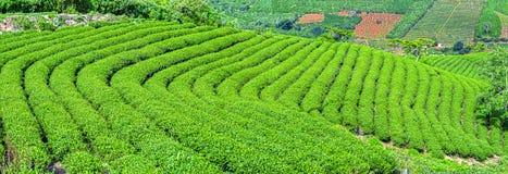 Plantação de chá no enrolamento das inclinações Fotografia de Stock Royalty Free