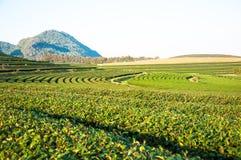 Plantação de chá no rai Tailândia de Chieng imagens de stock