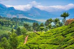 Plantação de chá pitoresca com panorama das montanhas Imagens de Stock Royalty Free