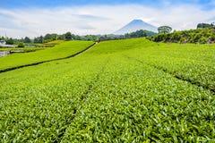 Plantação de chá verde com a montanha de Fuji em Shizuoka no verão Fotografia de Stock Royalty Free