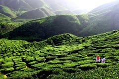 Plantação de chá verde em Cameron Highland imagens de stock royalty free