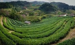 Plantação de chá verde em Chiangmai, Tailândia Plantação de chá em montanhas com cabana Fotografia de Stock Royalty Free