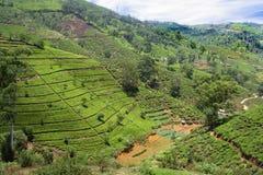 Plantação de chá verde em Sri Lanka foto de stock