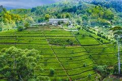 Plantação de chá verde em Sri Lanka imagens de stock