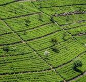 Plantação de chá verde em Sri Lanka fotografia de stock royalty free