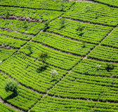 Plantação de chá verde em Sri Lanka imagem de stock royalty free