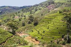 Plantação de chá verde em Sri Lanka imagem de stock
