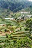 Plantação de chá verde em Sri Lanka foto de stock royalty free