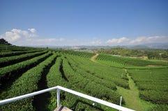 Plantação de chá verde fresca bonita Foto de Stock