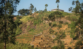 Plantação de chá verde fresca bonita em Sri Lanka Foto de Stock Royalty Free