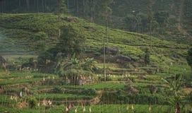Plantação de chá verde fresca bonita em Sri Lanka Imagem de Stock