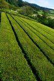 Plantação de chá verde imagens de stock royalty free