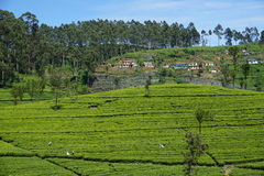 Plantação de chá vibrante em Sri Lanka Fotografia de Stock Royalty Free
